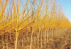 金枝槐是常绿树种还是落叶树种