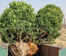 2021年大型冬青球苗木3米冠幅的价格是多