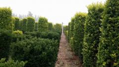 如何种植出大叶黄杨柱子?