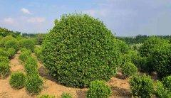 冬青大叶黄杨的地栽苗和移栽苗怎样去区