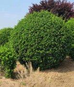 种植的大叶黄杨苗生病了该怎么办?