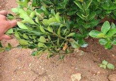 大叶黄杨的杆径被划伤后的创口该如何处