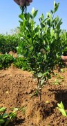 山东大叶黄杨一般都是栽多深?