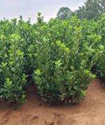 如何更好的修剪山东大叶黄杨?