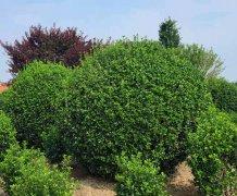 山东大叶黄杨球冠幅1米5-3米最新价格